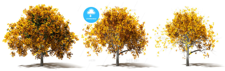 Three Autumn Marple Trees Renderings - HEBSTREIT's Sketches