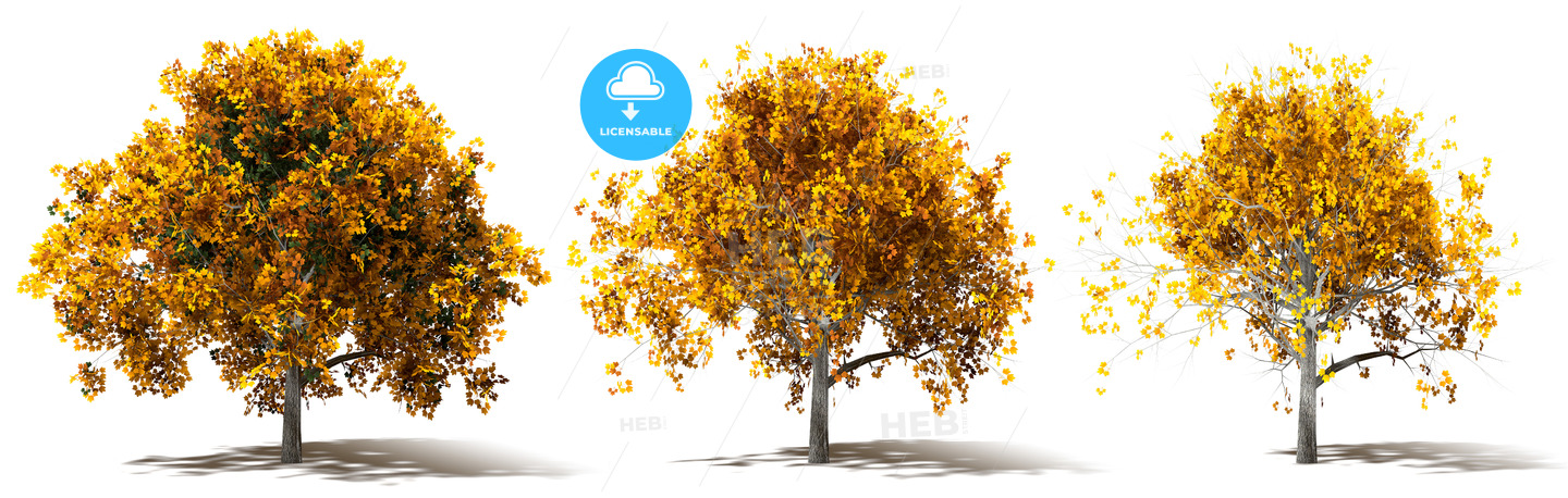 Three Autumn Marple Trees Renderings - Hebstreits
