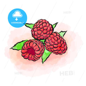 Colored drawing of raspberries - HEBSTREITS