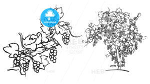 Vine tree and fruit drawing - HEBSTREITS