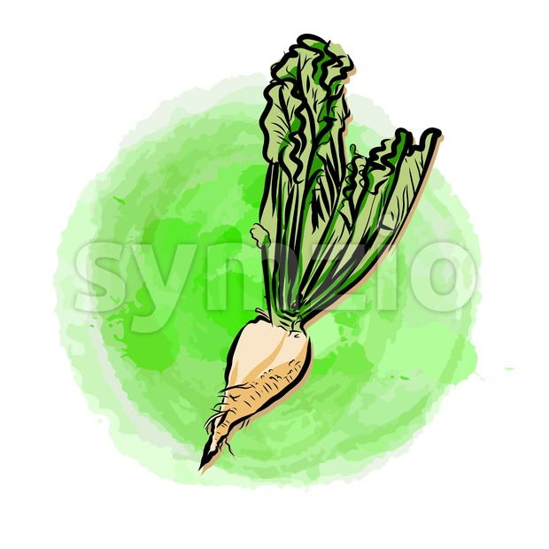 Sugar beet on painted background Stock Vector