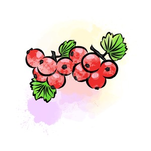 Colored drawing of currant Stock Vector