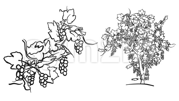 Vine tree and fruit drawing Stock Vector