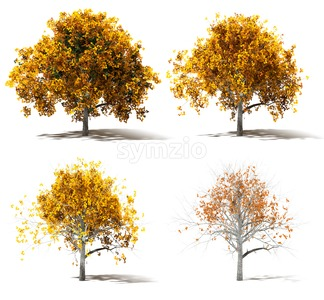 Four Autumn Marple Trees Color change Stock Photo