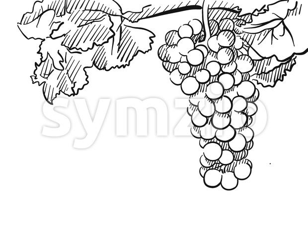 Grapes Vector Hand drawn Sketch Stock Vector