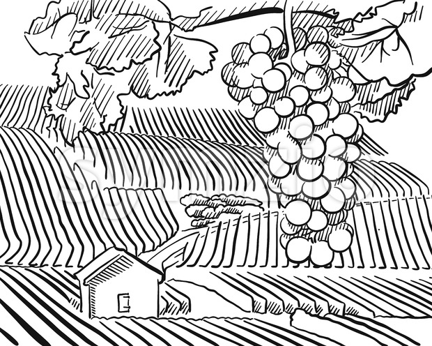 Vineyard Hills with hanging Grapes in Foreground, Vector Sketched Outline Artwork