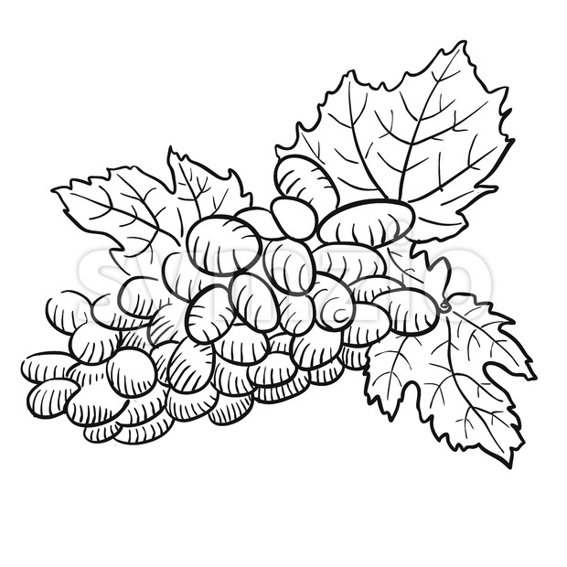 Sketched Grapes with Leaves, Black and White Stock Vector