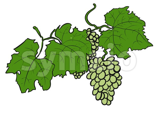 Green Grapes with Leaves, Sketched Stock Vector